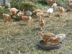 poulet3