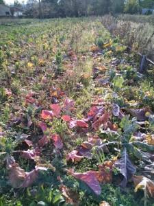 deteriosation des plants de choux